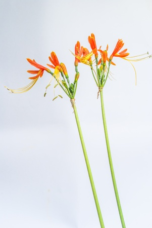 Orange  flower on isolated on white background. Stock Photo