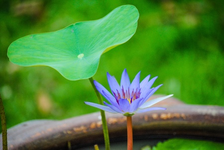 Purple lotus and leaf in green background Stock Photo