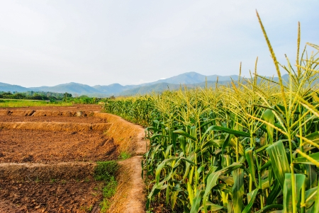 Landscape of corn field ,mountain and blue sky