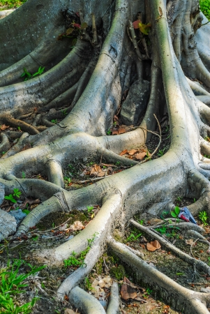 Tropical tree roots  Thailand photo