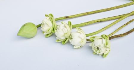 A group of white lotus photo