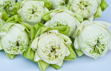 A group of white lotus