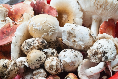 Edible mushrooms in tropical forest.