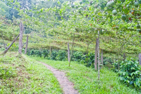 Walk way in the passion fruit and coffee garden photo