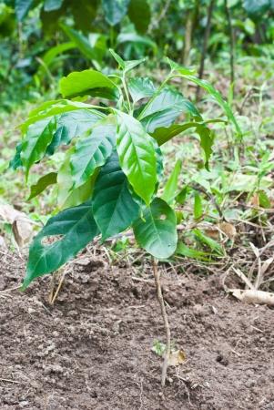 planta de cafe: Caf� planta