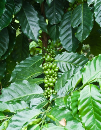 Green coffee beans growing on the branch in Chiang Mai,Thailand Stock Photo