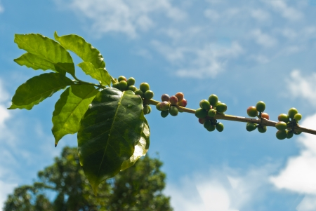Green coffee beans growing on the branch with clear sky in Chiang Mai,Thailand Stock Photo - 15209464