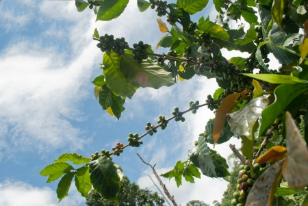 Green coffee beans growing on the branch with clear sky in Chiang Mai,Thailand Stock Photo - 15209468