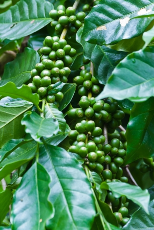 Green coffee beans growing on the branch in Chiang Mai,Thailand photo