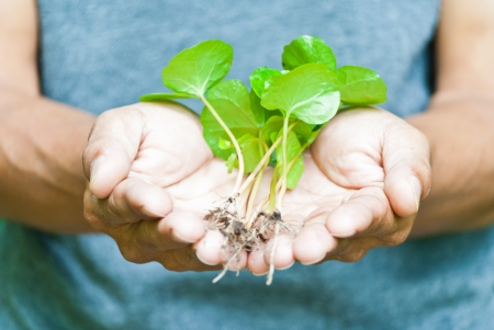 Seedlings of coffee in hand, the concept of global warming Stock Photo - 15209461