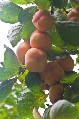 ebenaceae: Ripe Hachiya Persimmon, Diospyros kaki, hanigng on the branch of a tree