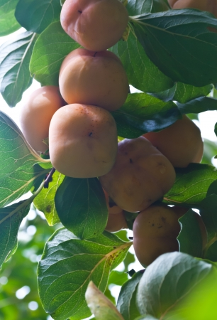 Ripe Hachiya Persimmon, Diospyros kaki, hanigng on the branch of a tree Stock Photo - 15209459