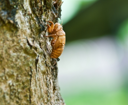 exoskeleton: Cicada Exoskeleton Skin Nicaragua