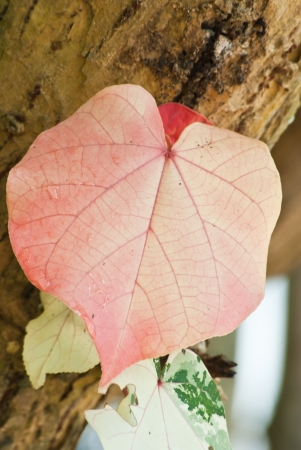 Pink leaf in the shape of heart