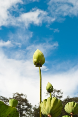 Green lotus flower with blue sky