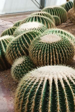 Cactus in greenhouses