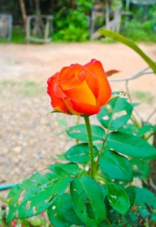 Beautiful orange roses photo