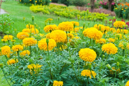 Marigold flower Stock Photo - 15515866