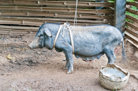 little black piggy with harness Stock Photo - 15515966