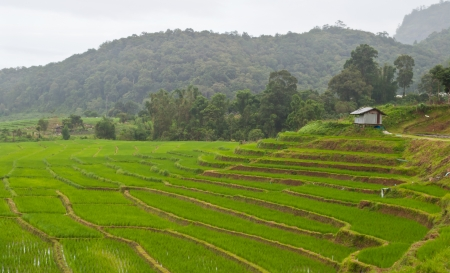 Green Terraced Rice Field in Chiang mai, Thailand Stock Photo - 15515760