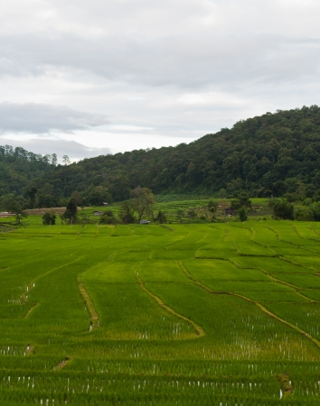 Green Terraced Rice Field in Chiang mai, Thailand Stock Photo - 15515758