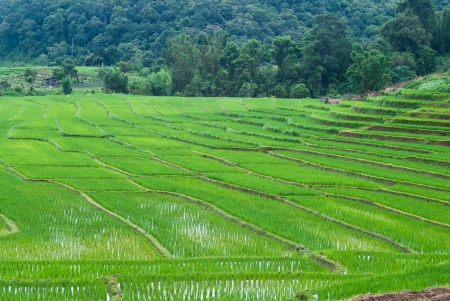 Green Terraced Rice Field in Chiang mai, Thailand Stock Photo - 15515994