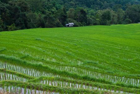 Green Terraced Rice Field in Chiang mai, Thailand photo