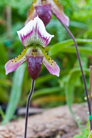 Purple dot orchid , Paphiopedilum sukhakulii