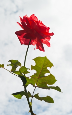 Close up of orange rose. Stock Photo
