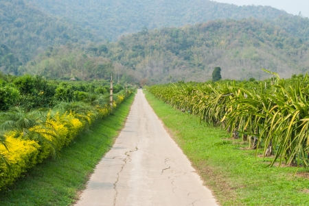 Pathway in orange orchard and dragon fruit gardens  Stock Photo