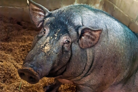 dwarfish: herbivorous a dwarfish pig of the Vietnamese breed
