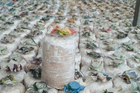 Infected mushroom bag at mushroom farm, Thailand  Stock Photo
