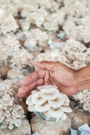 Hand of hold bag of mushrooms grown on the farm  Stock Photo