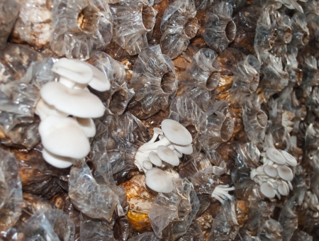 Oyster mushrooms are growing in  farm  Stock Photo