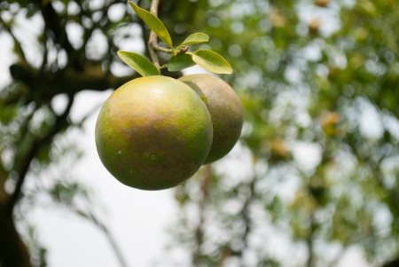 branch orange tree fruits green leaves in Chiang Mai,Thailand