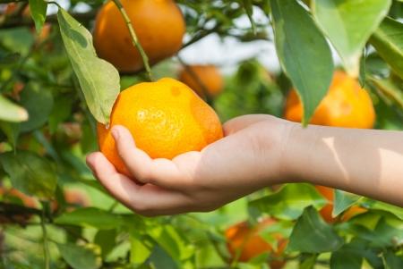The boy hand picking an orange on branch tree