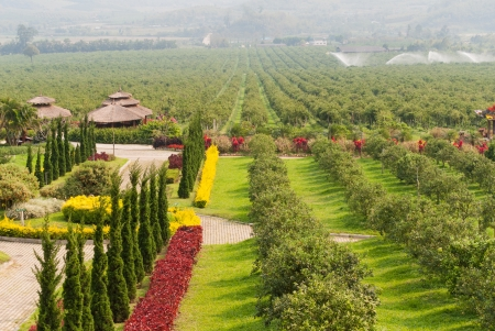 Orange orchard in Chiang Mai,northern Thailand