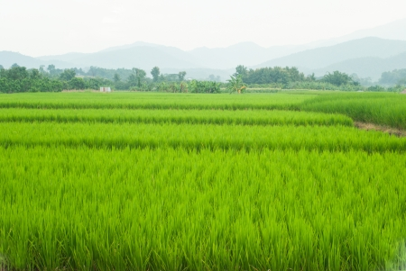 Paddy Rice Fields at Chiang mai,Northern Thailand  Stock Photo