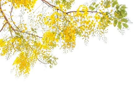 amarillo: Flor del árbol de ducha de oro aisladas sobre fondo blanco