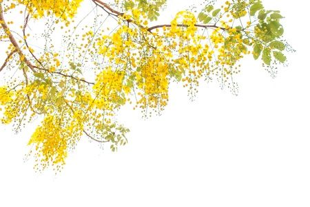 Flower of Golden Shower Tree isolated on white background  Stock Photo - 21189757