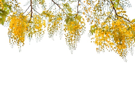 Flower of Golden Shower Tree isolated on white background