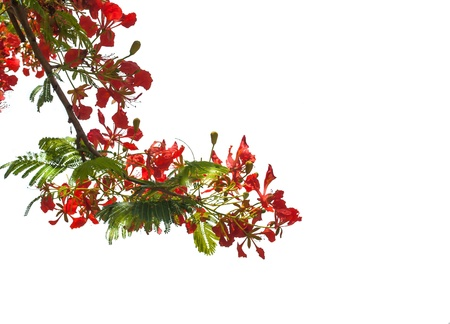 Flame Tree or Royal Poinciana Tree on white background Stock Photo