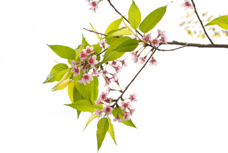 Spring Cherry blossoms on white background. Stock Photo