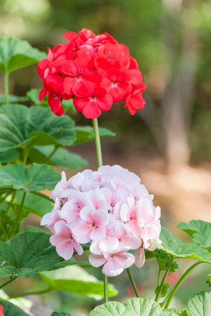 Pink geraniums in the home garden. Stock Photo