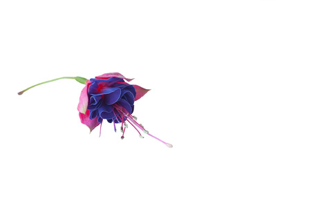 fuchsia: colorfull fuchsia flowers, flowers for Valentine