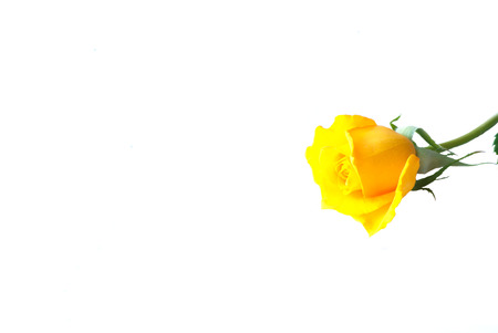 Yellow rose for Valentine