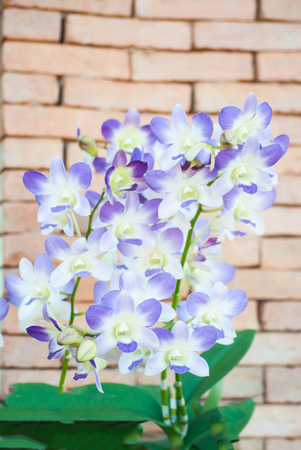 Purple orchid with brown wall