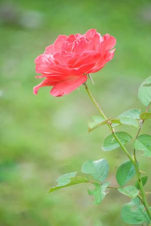 orange rose with water drops in my garden