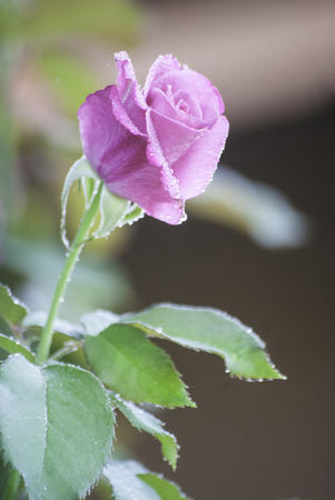 pink rose with water drops in my garden