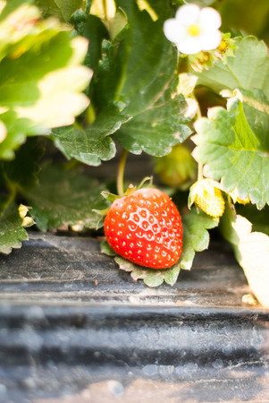 Strawberry fruits on the branch in the planting strawberry. Stock Photo
